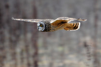 Short-eared Owl Photo by Amy Lewis/BTO
