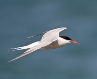 Common Tern by Allan Drewitt, Common Tern by Allan Drewitt