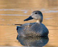 Gadwall by Paul Hillion