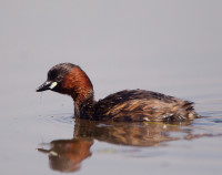 Little Grebe by Allan Drewitt, Little Grebe by Allan Drewitt