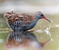 Water Rail by Sarah Kelman