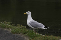 Herring Gull by John Harding/BTO