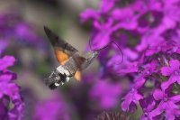 Hummingbird Hawk-moth by Jill Pakenham