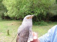 Hampshire Cuckoo 161321 by BTO