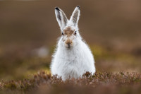 Mountain Hare. Andy Howard