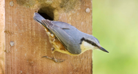 Nuthatch. Photograph by Edmund Fellowes