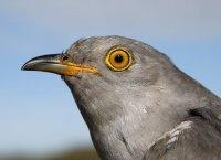 Peckham Cuckoo by BTO