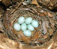 Pied Flycatcher Bto British Trust For Ornithology