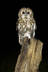 Tawny Owl by John Harding/BTO