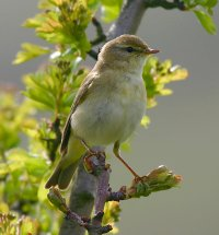 Willow Warbler by www.grayimages.co.uk