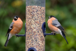 Bullfinches on feeder