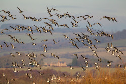 Barnacle Geese by Edmund Fellowes