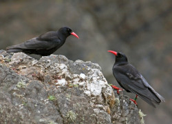 Chough by Jill Pakenham