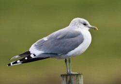 Common Gull by Allan Drewitt