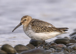 Dunlin by Chris Mills norfolkbirding.com