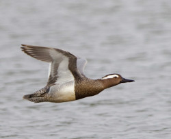 Garganey by Graham Catley