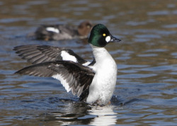 Goldeneye by John Proudlock