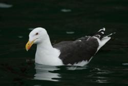 Great Black-backed Gull by Steve Willis