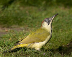 Green Woodpecker by Liz Cutting