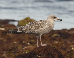 Herring Gull by Moss Taylor