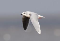 Little Gull by Chris Mills   norfolkbirding.com
