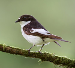 Pied Flycatcher by Edmund Fellowes