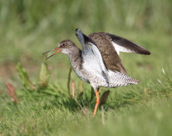 Redshank by Les Foster