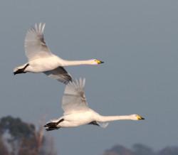 Whooper Swans by Sarah Kelman