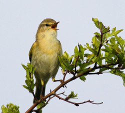 Willow Warbler by Allan Drewitt