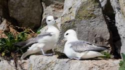 Fulmars resting on rocks. Philip Croft