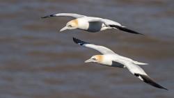 Gannets in flight. John Harding