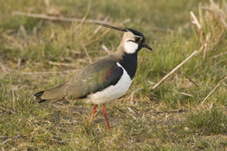 Lapwing. Photograph by Chris Mills