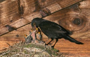 Blackbird feeding chicks in the nest. Photo by Jill Pakenham/BTO.