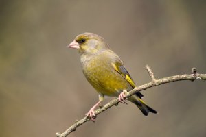 Greenfinch, by John Harding/BTO