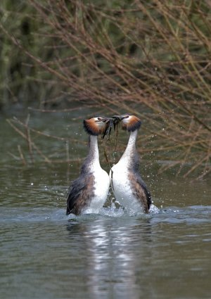 Great Crested Grebe. Photograph by Chris Knights