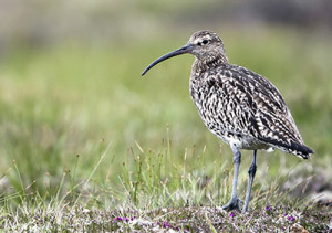 Curlew. Photograph by Paul Hillion