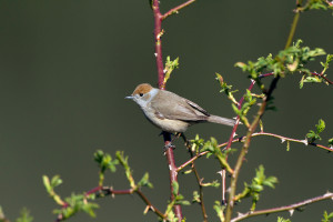 Blackcap, by John Harding