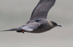 Arctic Skua. Photograph by Richard Cope.