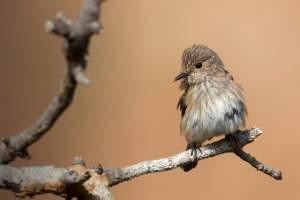 Spotted Flycatcher. David Jefferson