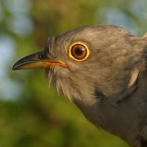 Lloyd the Cuckoo