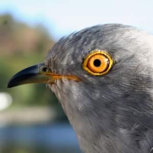 Chance the Cuckoo