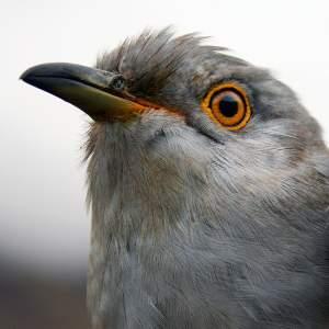 Karma the Cuckoo