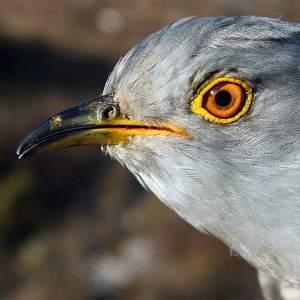 Livingstone the Cuckoo