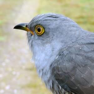 Emsworthy the Cuckoo