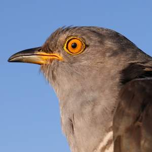 Viator the Cuckoo