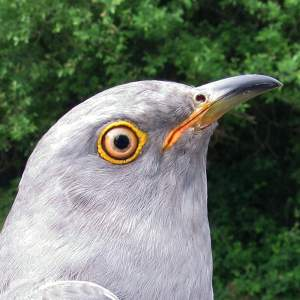 Selborne the Cuckoo portrait (placeholder)