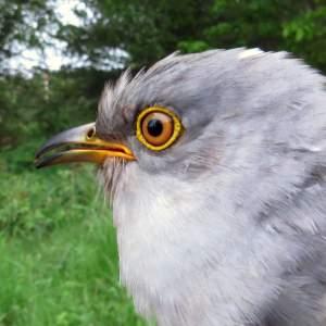 Bill the Cuckoo portrait