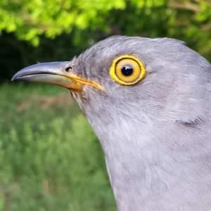 Boris the Cuckoo