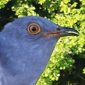 Carlton the Cuckoo