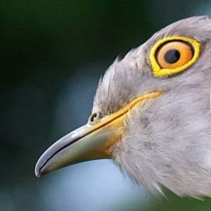 Samson the Cuckoo